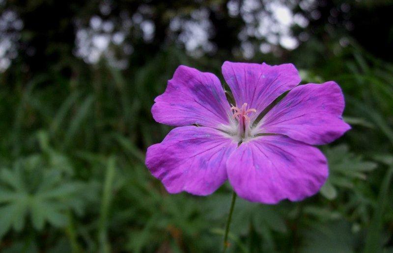 bunga violet.jpg
