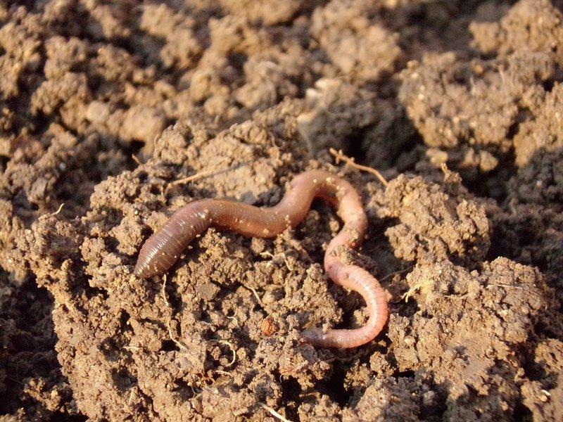 manfaat cacing tanah untuk struktur tanah