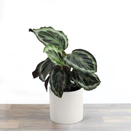 tanaman hias dalam ruangan