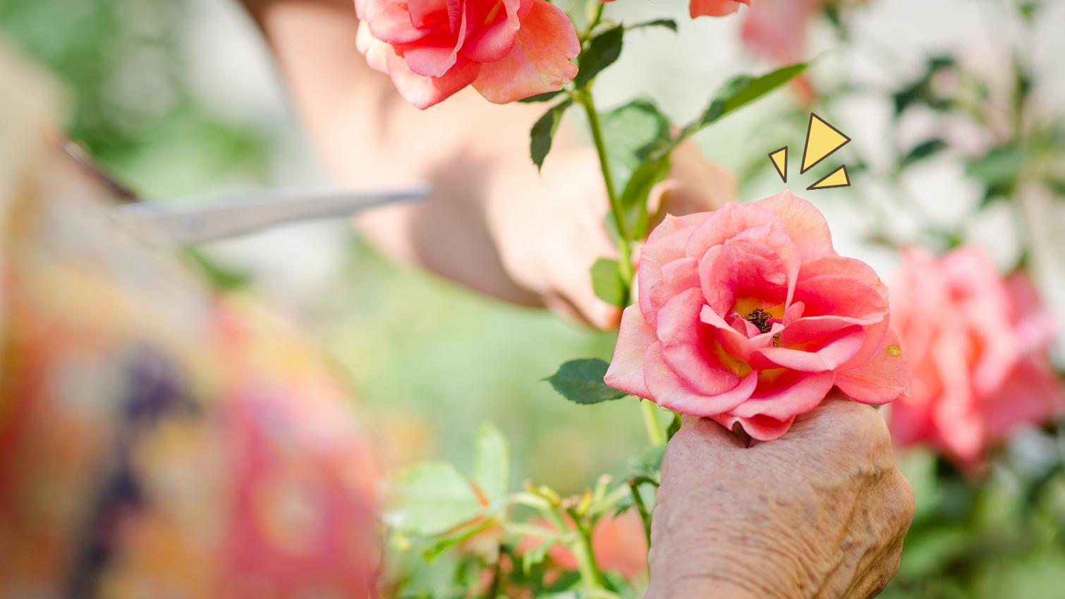6 Cara Menanam Mawar Di Rumah Supaya Kebun Tampak Cantik