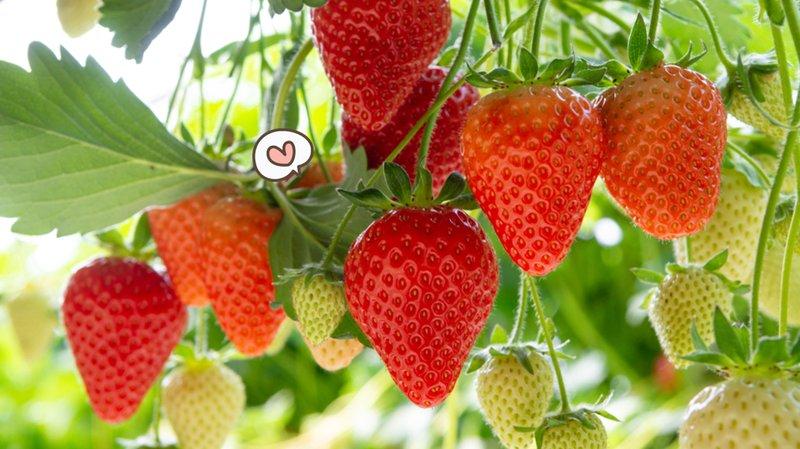 buah-rendah-kalori-strawberry.jpg