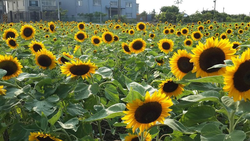 cara menanam bunga matahari-3.jpg