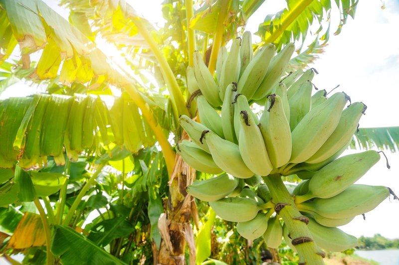 cara menanam pisang.jpg