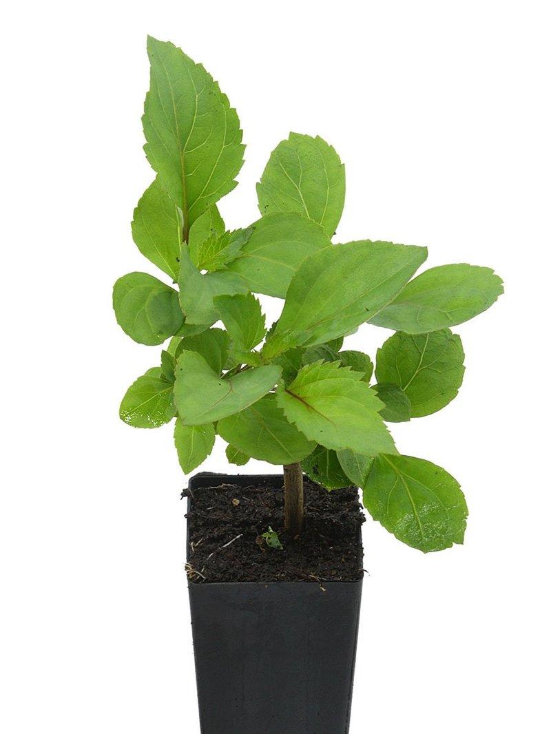 cara menanam tanaman nilam.jpg