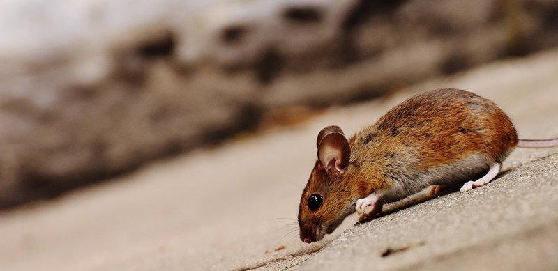 cara mengusir tikus di rumah-1.jpg
