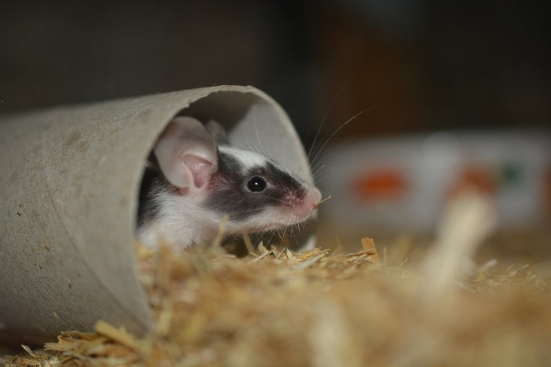cara mengusir tikus di rumah-2.jpg