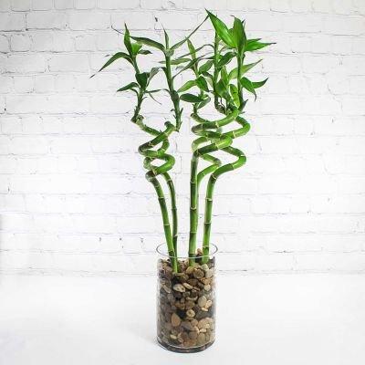 cara merawat bambu rejeki