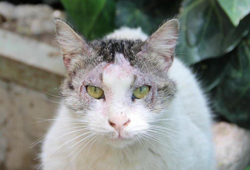 cat scabies