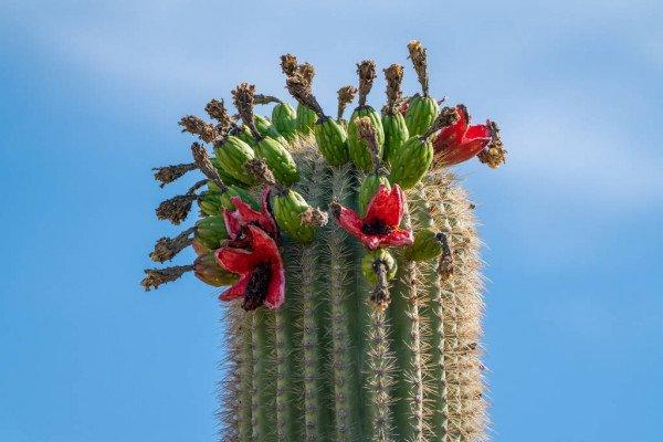 buah kaktus