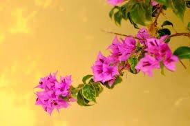 tanaman fengsui