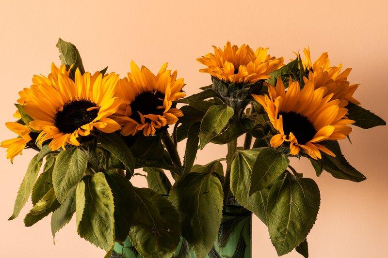 Bunga matahari Bermakna Umur yang Panjang