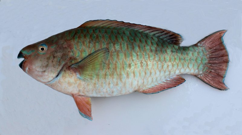 f426 rainbow parrotfish 1