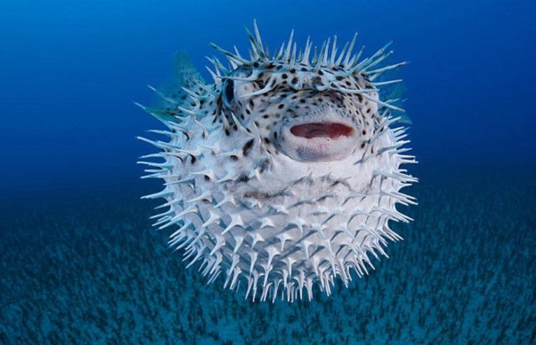 feature annette main pic a programme to limit the numbers of pufferfish invaders has had little success 770x495