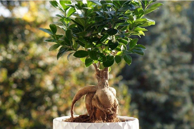 ficus-microcarpa-ginseng-bonsai.jpg