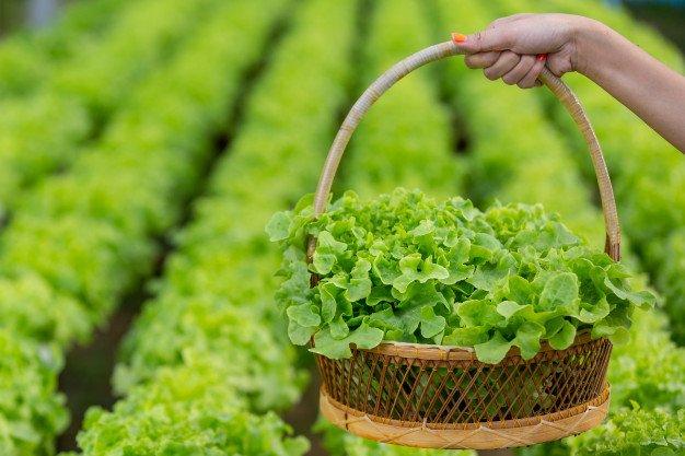 cara menanam selada