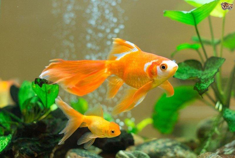 gambar ikan mas 6