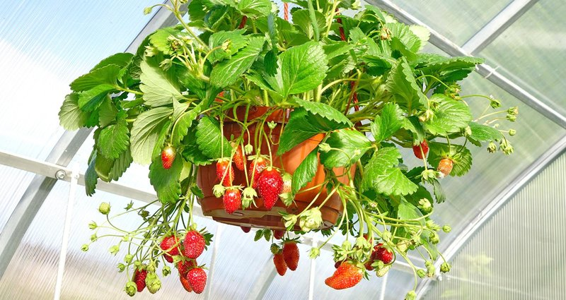 grow strawberries hanging plant garden a116092629