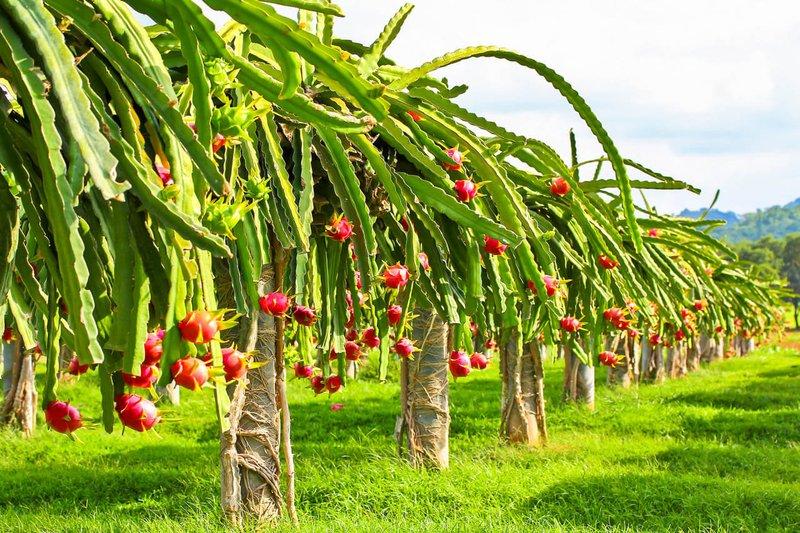 growing-dragon-fruit-2.jpg