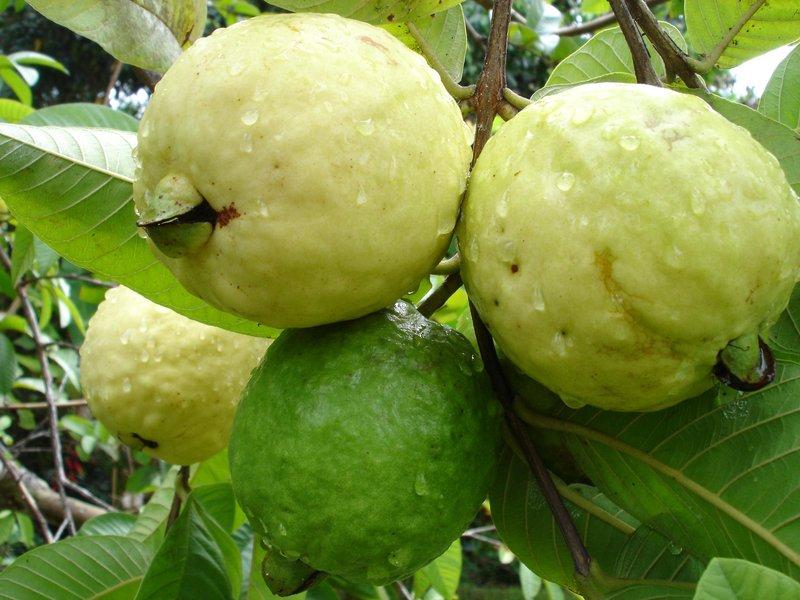 guava menta suuco recipe