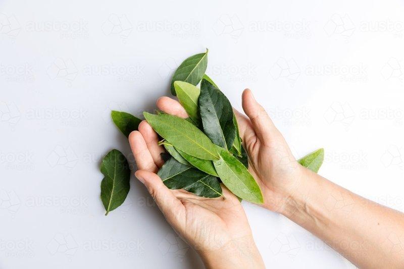 hands-holding-bay-leaves-isolated-on-white-austockphoto-000060534.jpg