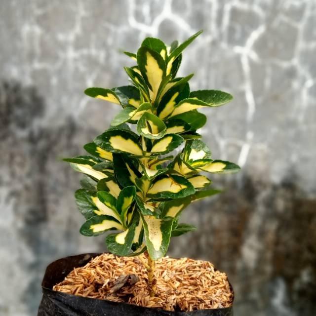 tanaman puring havana golden