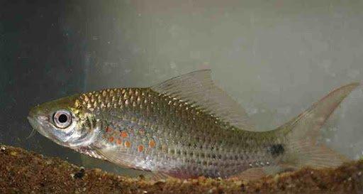 ikan nilem 2.jpg