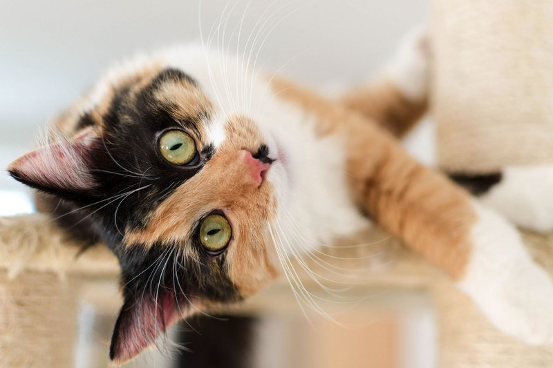 bulu kucing
