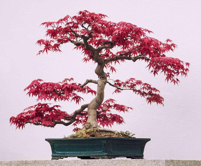 japanese bonsai.jpg