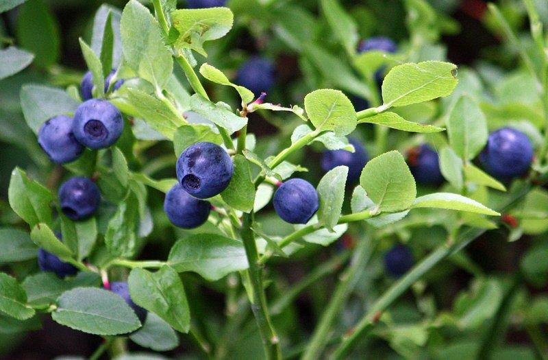 jenis buah berry - bilberry.jpg