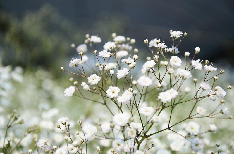jenis bunga kering - babys breath