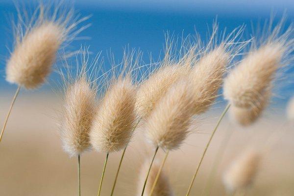 jenis bunga kering - lagurus