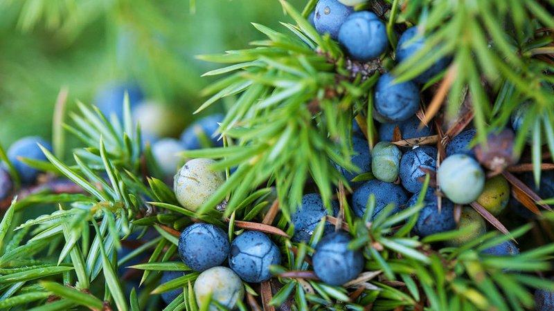 juniper-berries-naturepl-01340549-simon-colmer.jpg
