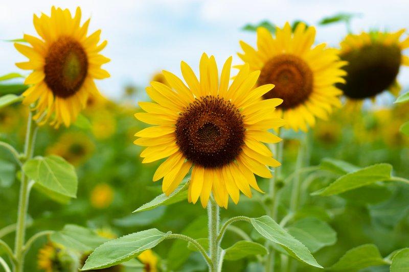 Cara Menanam Bunga Matahari dari Warnanya