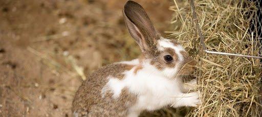 kelinci rumput.jpg