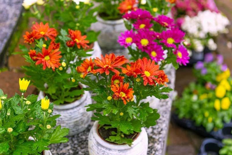 Bagi Yang Suka Bunga Krisan Tanam Sendiri Yuk Di Rumah