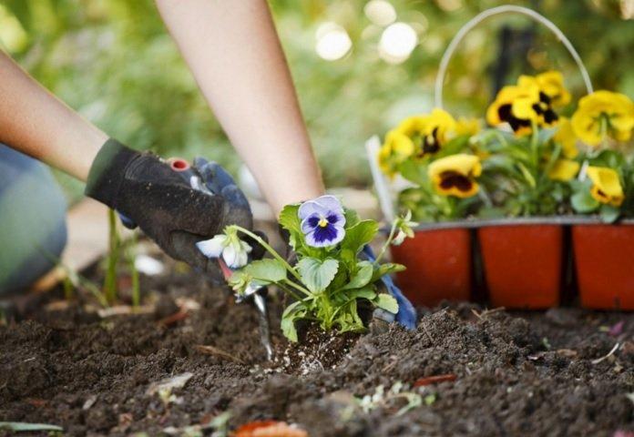 cara menanam bunga krisan, bunga krisan