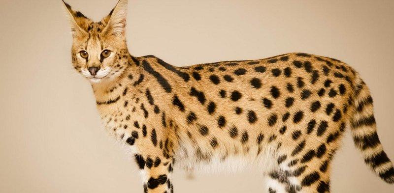 kucing termahal di dunia savannah cat