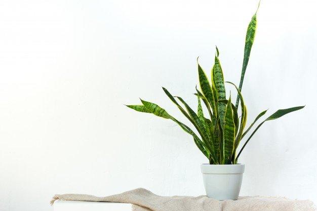 mitos tanaman lidah mertua
