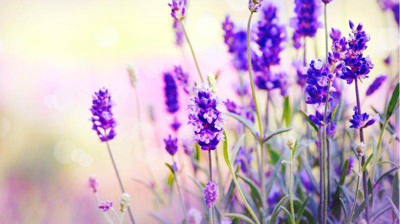 lavender obat nyamuk alami