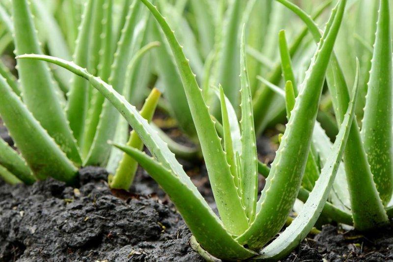 lidah buaya tanaman dihindari hewan