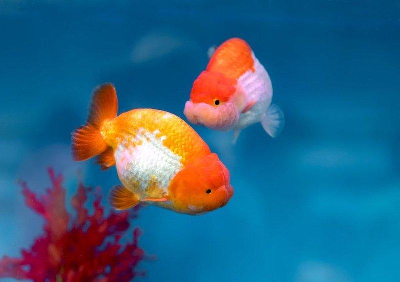 Goldfish Lionhead