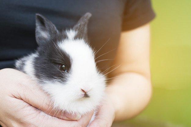 Bilas kelinci hingga bersih dan tidak ada sampo tersisa