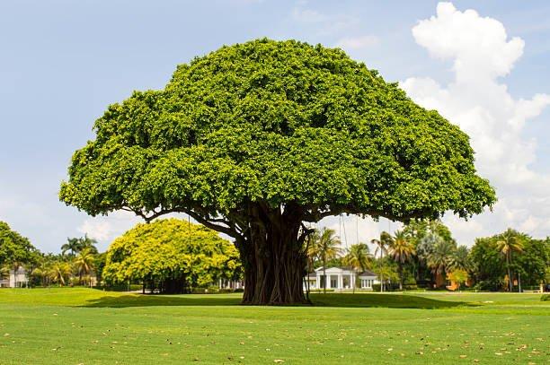makna pohon beringin.jpg