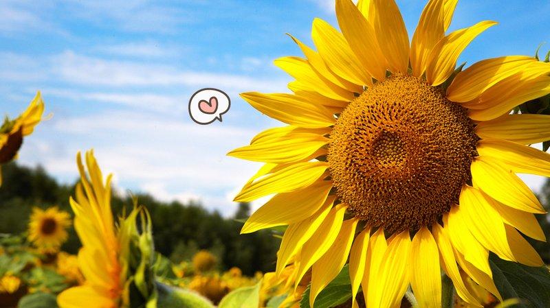 manfaat-cara-mengatasi-kulit-kering-dari-bunga-matahari.jpg