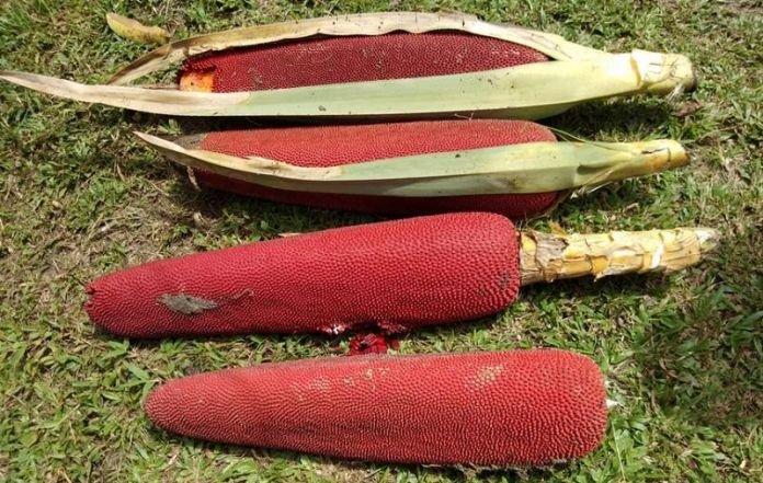 mencegah osteoporosis, manfaat buah merah papua