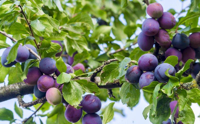 manfaat buah plum.jpg