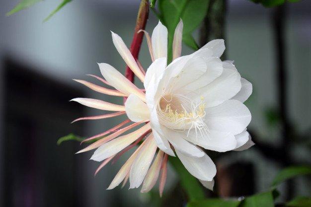 manfaat bunga wijaya kusuma untuk jerawat.jpg