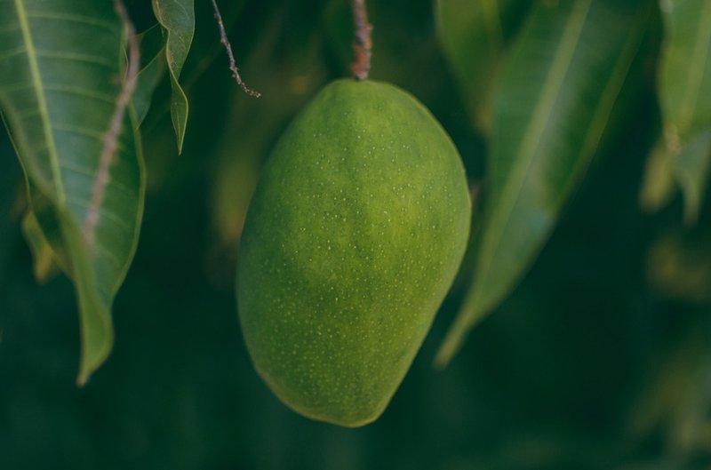 mangga, buah yang perlu dihindari saat balita batuk.jpg