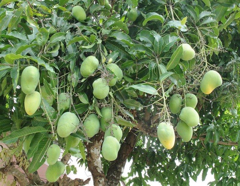 Persiapan sebelum Mencangkok Pohon Mangga