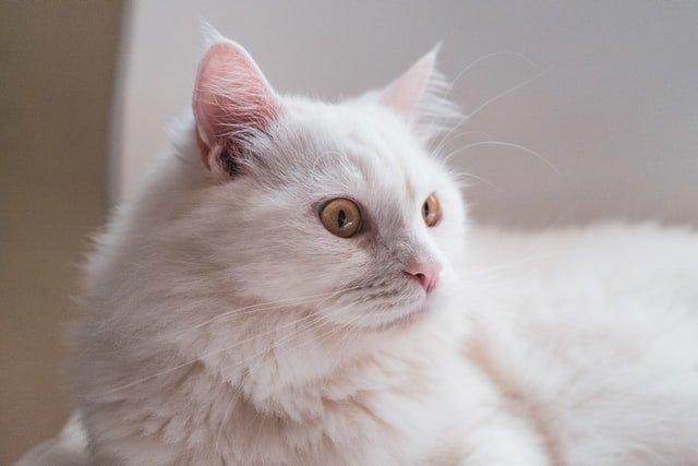 Kucing Anggora digemari karena bulu dan matanya yang cantik